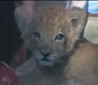 news-lion-cub