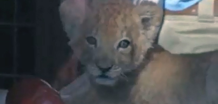 New York zoo introduces new (and fluffy!) African lion cub