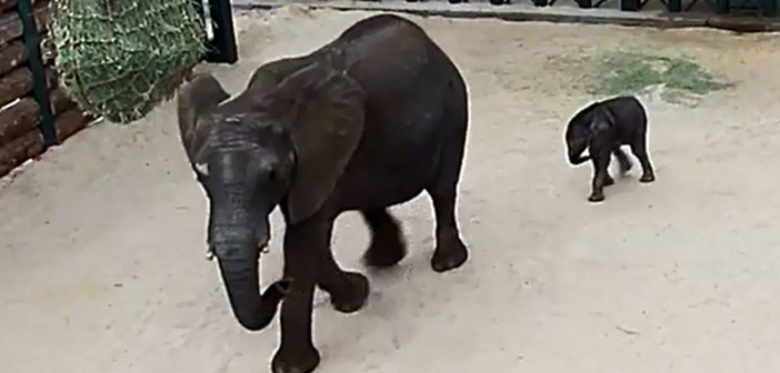 Elephant rescued from Swaziland delivers calf at Dallas Zoo