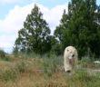 News-Polar-bear