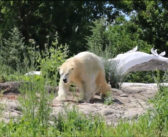 Polar bear stretches her legs at new Detroit-area home