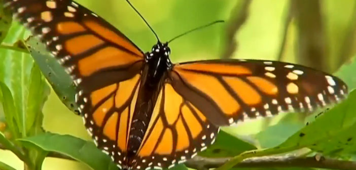 Storms damage trees in Mexican monarch butterfly reserve