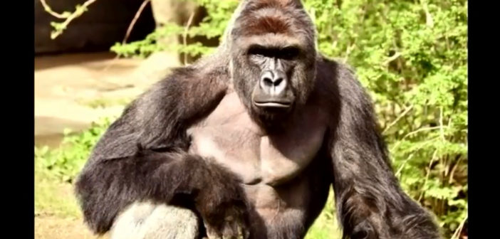 Cincinnati Zoo Twitter accounts gone amid Harambe comments