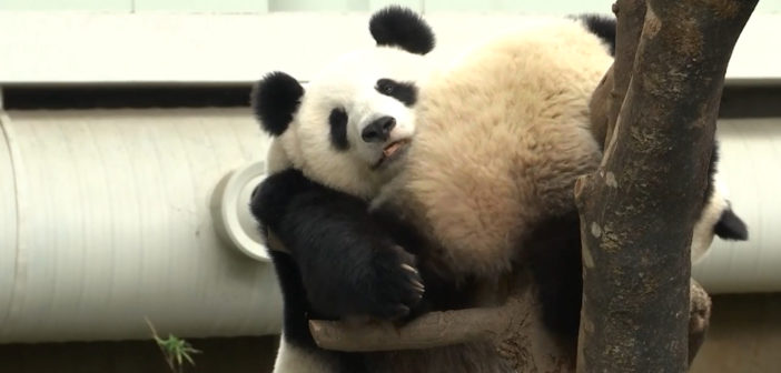 Panda cub's older sister celebrates birthday at National Zoo
