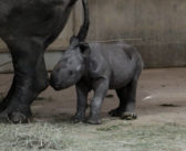 Endangered black rhino born at Blank Park Zoo in Des Moines