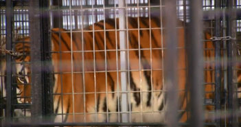 Trainer clawed on legs by tiger at fair as children look on