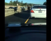 Four-legged fugitives take free rein on a California highway